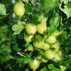 Stachelbeere - Macherauch`s Resistenta® Ribes uva crispa