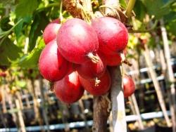 Stachelbeere - Redeva® Rote Eva Ribes uva crispa