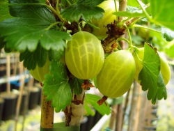 Stachelbeere - Reflamba®, grün Ribes uva crispa