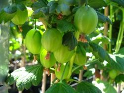 Stachelbeere - Tatjana®, grün Ribes uva crispa