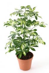 Strahlenaralie 'Gerda' - Schefflera arboricola