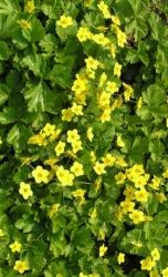 Teppich Golderdbeere - 3 er Set Waldsteinia ternata