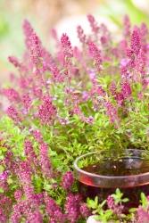 Thymian Teppich Bodendecker Gartenthymian 3 er Set - Thymus serpyllum