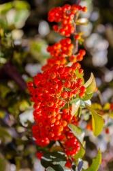 Viburnum tinus - Gwenllian