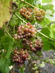 Weinrebe - Bellarosso, gelb + rot, süß Vitis vinifera