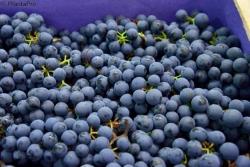 Weinrebe - Blauer Muskateller Vitis vinifera