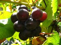 Weinrebe - Erdbeertraube, rot blau, Vitis vinifera