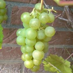 Weinrebe - Glenora Vitis vinifera