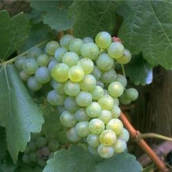 Weinrebe - Lakemont, kernlos weiß Vitis vinifera