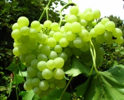 Weinrebe - Millennium, gelb, kernlos, pilztolerant Vitis vinifera