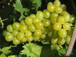 Weinrebe - Phoenix, weiß Vitis vinifera