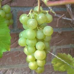 Weinrebe - Primus, gelb Vitis vinifera