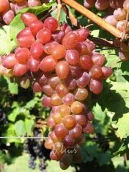 Weinrebe - Rhea Vitis vinifera