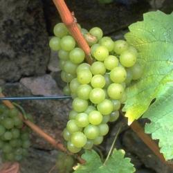 Weinrebe - Seyval blanc Vitis vinifera