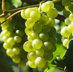 Weinrebe - Solaris,  gelb, resistent, sehr früh Vitis vinifera