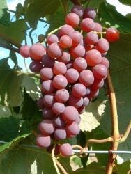 Weinrebe - Vanessa, rot Vitis vinifera