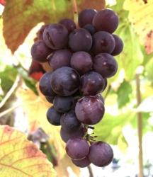 Weinrebe - Venus Vitis vinifera