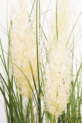 Weißes Pampasgras Cortaderia selloana 'Weisse Feder'