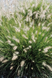 Zwerg-Lampenputzergras Pennisetum alopecuroides 'Little Bunny'