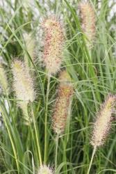 Zwerg-Lampenputzergras Pennisetum alopecuroides 'Piglet'