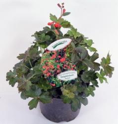 Zwerg Rittersporn Delphinium nudicaule 'Redcap' Rot 19 cm Topf