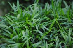 brasilianische Graspflanze Lilaeopsis brasiliensis