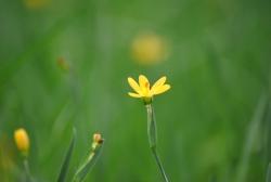 gelbe Binsenlilie Sisyrinchium californicum