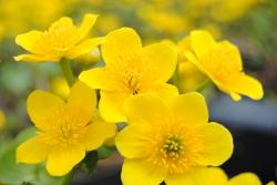 gelbe Sumpfdotterblume Caltha palustris