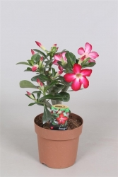 Wüstenrose rot - Adenium Anouk