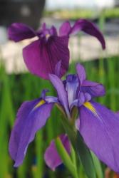 jap.Sumpfiris Iris kaempferi blau