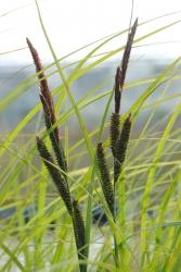 schmale Sumpfsegge Carex gracilis