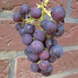 Weinrebe -  Muscat New York Vitis vinifera