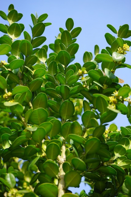 Buxus sempervirens - Heckenpflanze