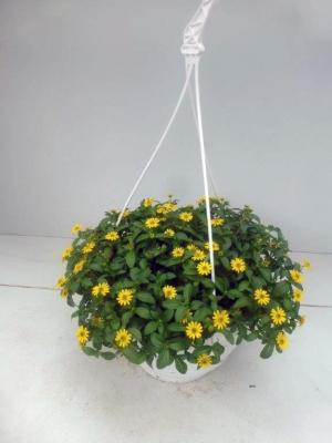 Husarenknopf Ampel Sanvitalia procumbens
