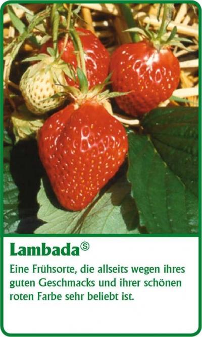 Erdbeerpflanze - 6 Stück Mara Des Bois Fragaria ananassa