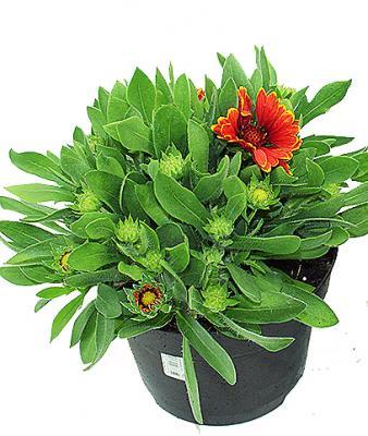 Kokardenblume Gaillardia 19 cm Topf