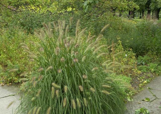 Pennisetum ( Lampenputzergras ) - alopecuroides 'Herbstzauber'
