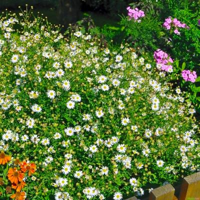 Garten-Schönaster Kalimeris - incisa 'Madiva'