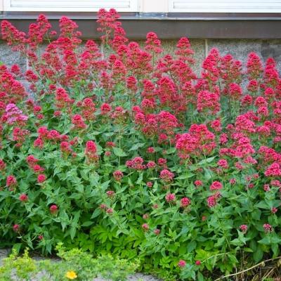 Spornblume Centranthus - ruber 'Coccineus'
