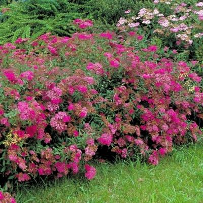 Rote Rispenspiere Anthony Waterer - Spiraea japonica