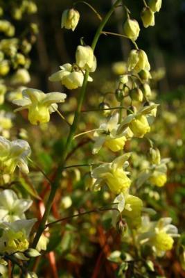 Elfenblume Epimedium - x versicolor 'Sulphureum'