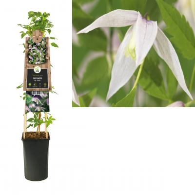 Clematis  alp. 'Willy'
