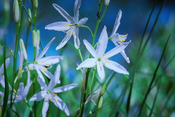 Ährige Graslilie Anthericum - liliago