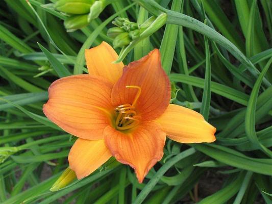 Taglilie Hemerocallis - x cultorum 'Orangette'