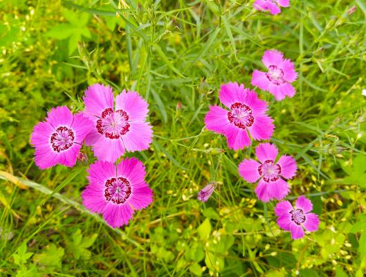 Heidenelke Dianthus - deltoides 'Brillant'