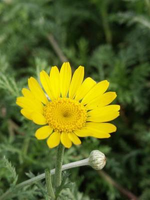 Silberkamille Anthemis - marschalliana