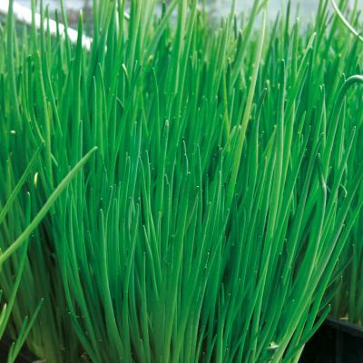 Schnittlauch Allium schoenoprasum Staro