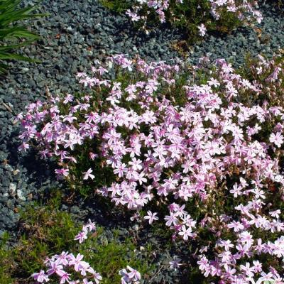 Flammenblume Phlox - subulata 'Candy Stripes'