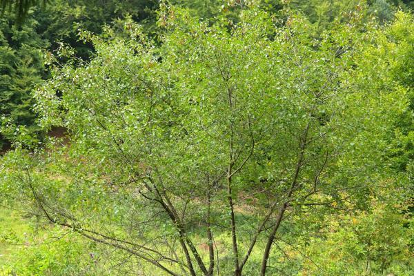 Farnblättriges Pulverholz 'Fine Line' ® - Rhamnus frangula