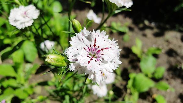 Heidenelke Dianthus - deltoides 'Albus'